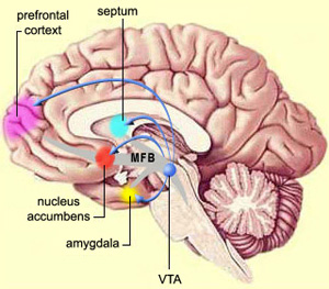 Некоторые ключевые компоненты «системы награды». Нейроны коры, получив и обработав информацию очем-то приятном (вознаграждающем стимуле), посылают сигналы в«вентральную область покрышки» (VTA)— участок среднего мозга, нейроны которого вырабатывают дофамин. После этого VTA посылает свои дофаминовые сигналы вприлежащее ядро (nucleus accumbens), миндалевидное тело (amygdala), префронтальную кору (prefrontal cortex) и другие отделы мозга. (MFB, medial forebrain bundle— медиальный переднемозговой пучкок; septum— перегородка). Изображение с сайта thebrain.mcgill.ca