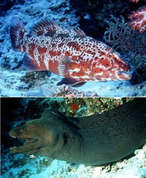 Эти два хищника— коралловый групер (вверху) и мурена— к взаимной пользе обоих часто охотятся вместе. Считалось, что кооперация и взаимопомощь в охоте— это нечастое явление в мире животных. Будущее покажет, так ли это (фото с сайта filaman.ifm-geomar.de)