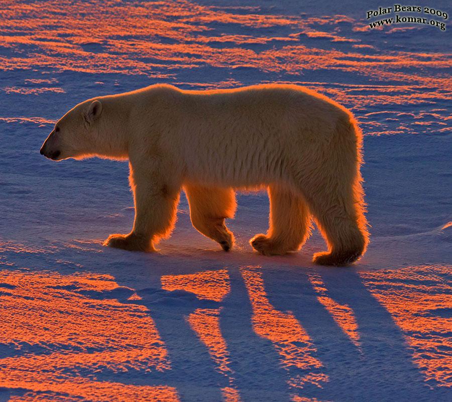 جفتري خرس قطبي YouTube Bedava MP3 İndir
