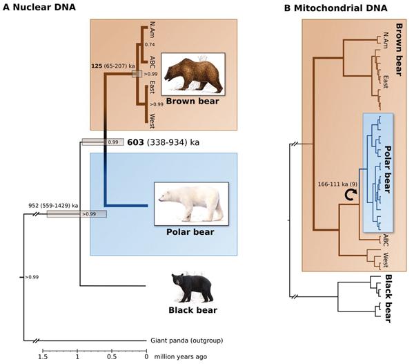Филогенетических схемы ветвления линий белых и бурых медведей по ядерным генам (интронам) и по мтДНК