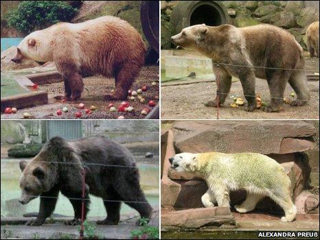 Белый медведь гризли плюс равных?