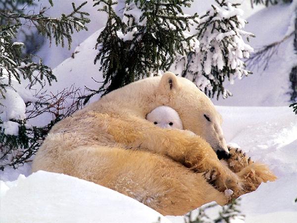 Сейчас из-за изменений климата и таяния арктических льдов появляются гибриды белых и бурых медведей, так что через пару тысяч лет облик полярных медведей может существенно измениться. Но хорошо бы человечество запомнило белых медведей такими. Фото ссайта www.animalwallpaper.org