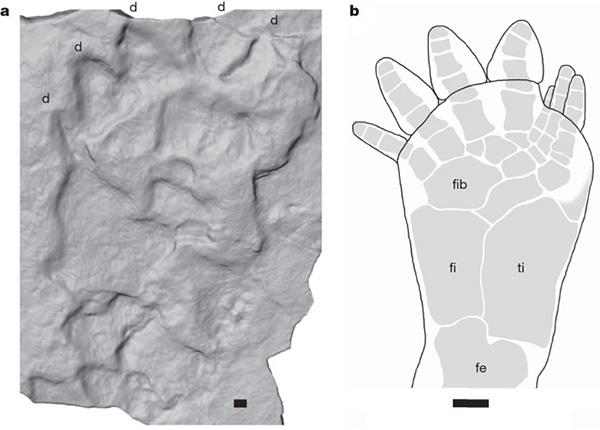 Слева— след из каменоломни вПольше; справа— реконструированный след Ichthyostega. Между двумя следами заметно явное сходство, хотя оно и не полное. Четко видны отпечатки пяти пальцев, атакже можно легко представить, что углубления вследе отчасти соответствуют строению скелета стопы, щиколотки и колена. Длина масштабной линейки 1см. Рис. из обсуждаемой статьи вNature