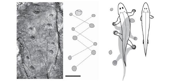 Цепочка следов в образце и схема шагания животного (слева сверху виден отпечаток лапы другого, более крупного, животного). Вцентре показаны движения тела генерализованного животного, которое оставило данную цепочку следов. Справа— тело генерализованного животного, подобного Panderichthys и Tiktaalik, которые такой след не оставили бы. Длина масштабной линейки 10см. Рис. из обсуждаемой статьи вNature