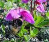 Шмели-опылители берут качеством, а мухи — количеством