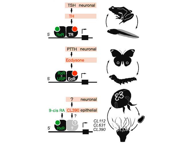 Система инициации метаморфоза у амфибий, насекомых и аурелии