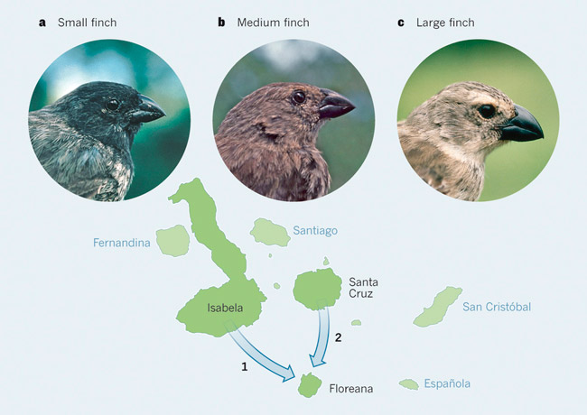 Три вида древесных вьюрков с острова Флореана