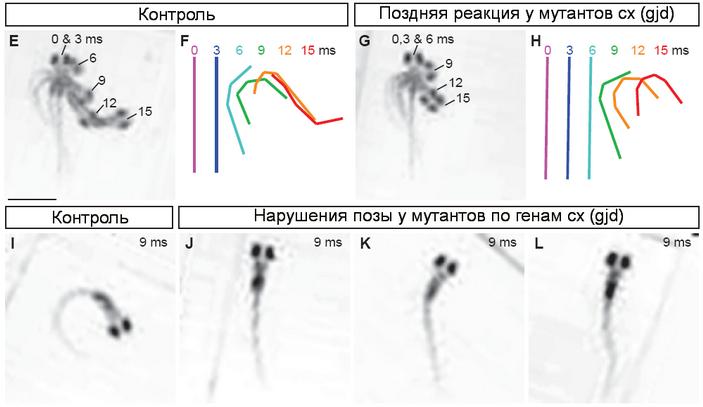 <b>Рис.5.</b> Сравнение движений мутантных <i>Danio rerio</i> снарушением функций электрических синапсов, среакцией уворачивания у контрольных экземпляров срабочими генами коннексинов