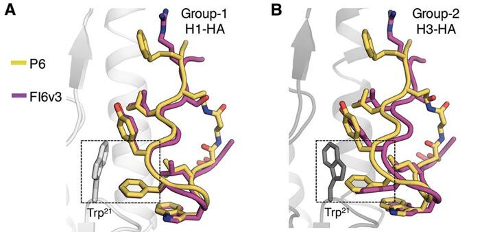Сравнение взаимодействия ранее изученного антитела человека FI6v3 и разработанного пептида счастицами вирусов гриппа