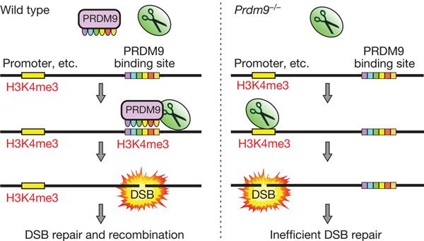 Предполагаемый механизм работы белка PRDM9