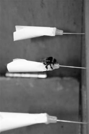 Расположенные вряд (горизонтально) искусственные модели цветков, спомощью которых исследователи проверяли, берут ли неопытные шмели пример непосредственно сопытных, склонных воровать нектар. Каждый «цветок» насажен на иглу от шприца, по которой впластиковое основание, обрамленное бумажными «лепестками», поступает сахарный сироп. Иллюстрация из обсуждаемой статьи вProceedings of the Royal SocietyB