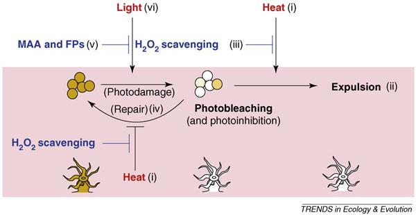 Схема действий коралла по противодействию обесцвечиванию. Умеренное повышение температуры приводит к появлению вхлоропластах симбионтов перекисей (H2O2). Они могут нарушить мембрану и попасть вклетку хозяина, который отторгнет симбионта (Expulsion). Способность полипа обезвреживать образующиеся перекиси (H2O2-scavenging) уразных видов кораллов выражена вразной степени. Перекиси могут ингибировать и систему репарации повреждений, что усиливает эффект фотоингибирования. Организм коралла может также нейтрализовать слишком сильный ультрафиолет спомощью микоспорин-подобных аминокислот(MAA) или флуоресцирующих пигментов(FP). Рис. из обсуждаемой статьи вTrends in Ecology and Evolution