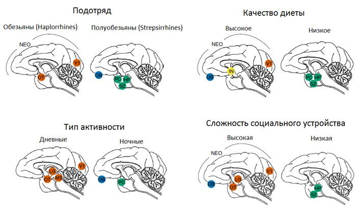Относительные размеры отделов мозга уприматов связаны собразом жизни