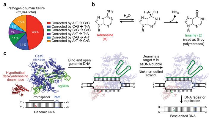 Редактирование оснований: замена комплементарной пары нуклеотидов A•T на G•C без внесения двойных разрывов в геномную ДНК