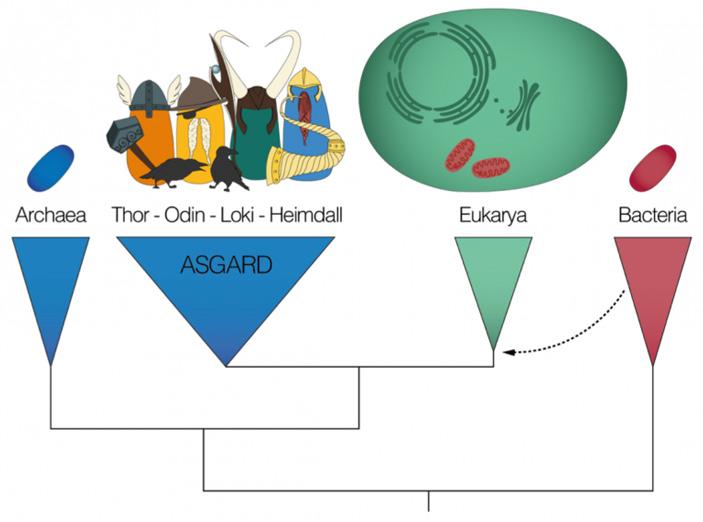 Рис. 2. Эволюционное древо, на котором показано положение архей, эукариот и бактерий