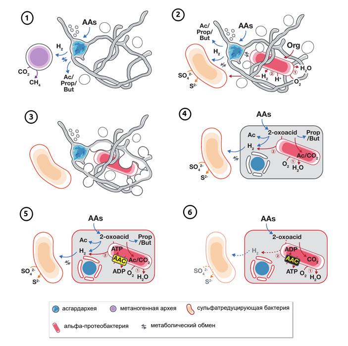 Рис. 4. Новый сценарий происхождения эукариот