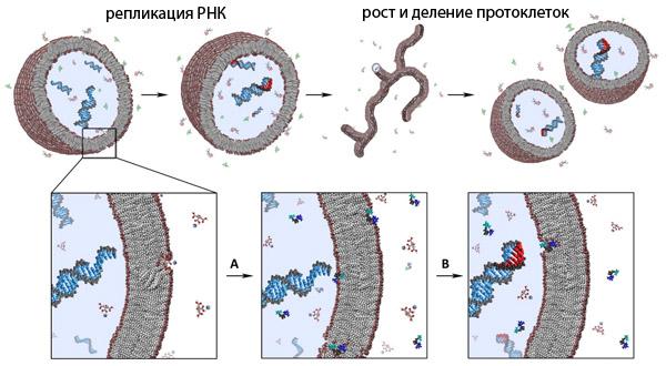 Окруженные липидными мембранами пузырьки - протоклетки, в которых идет синтез РНК