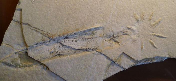 Птерозавры-рамфоринхи охотились на головоногих моллюсков юрского периода