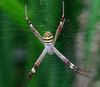 Паутина паука-аргиопы привлекает насекомых запахом