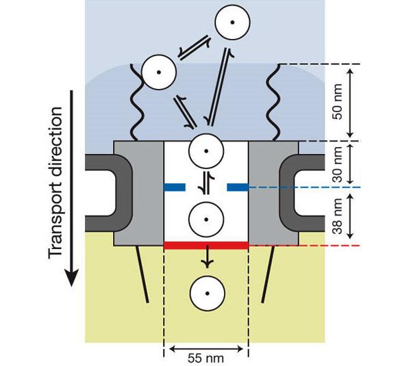 Ядерный транспорт. Груз может прямо пойти в канал поры либо вначале соединиться с филаментами (волнистые линии), которые его туда направят. После этого ему нужно преодолеть сужение вначале канала (голубые выступы), азатем добраться до молекул Ran (красная полоса), которые помогут ему попасть в ядро. Изображение из обсуждаемой статьи вNature