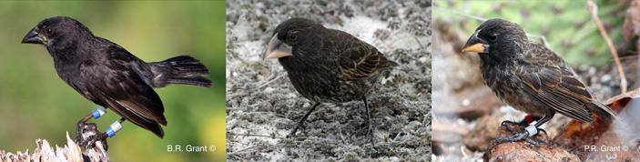 Рис. 1. «Большая птица» — представитель нового гибридного вида и два вида-прародителя