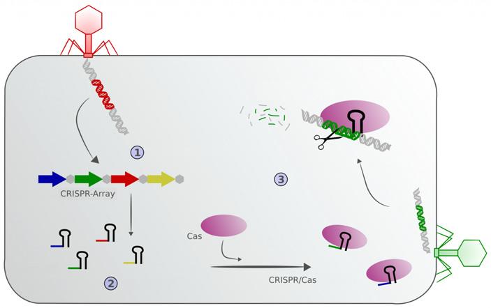 Рис. 1. Механизм работы системы Crispr-Cas