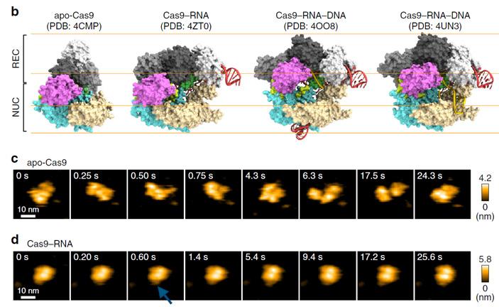 Рис. 3. Кристаллические структуры комплекса Cas9-РНК и кадры из видео
