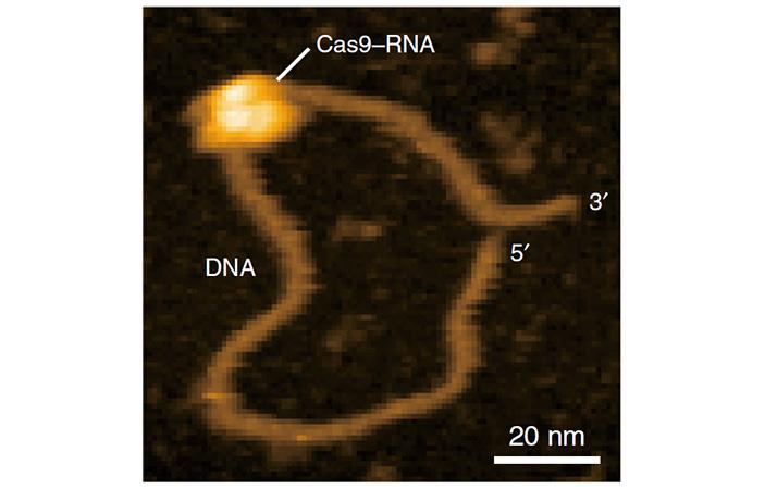Рис. 4. Комплекс Cas9-РНК, специфически связанный со своей мишенью в отсутствие ионов Mg2+