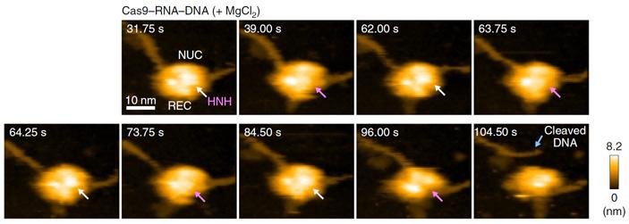 Рис. 5. Комплекс Cas9-РНК в присутствии ионов Mg2+ разрезает ДНК