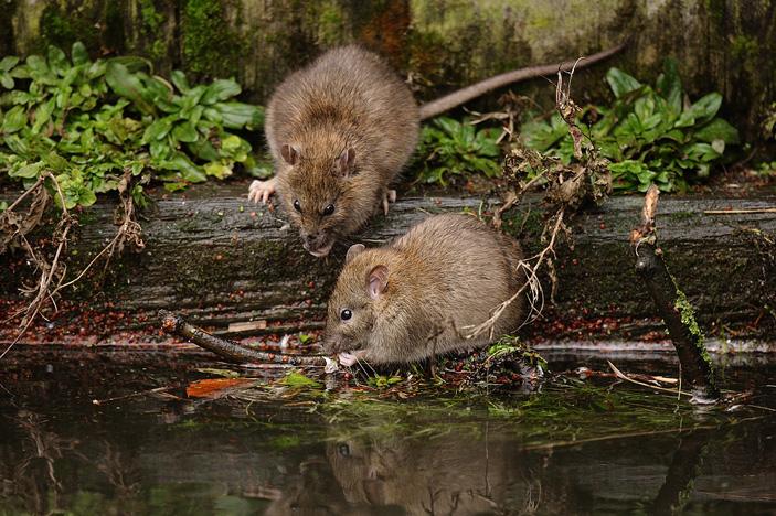 Рис.1. На фото— дикие серые крысы (Rattus norvegicus). Самки этого вида участвовали в экспериментах на взаимный альтруизм— только природные условия для них были созданы влаборатории