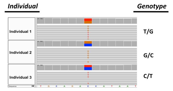 В геномах бделлоидных коловраток найдены свидетельства рекомбинации