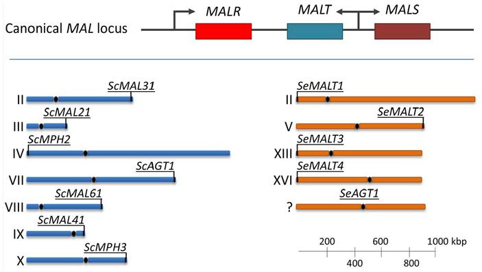 Рис. 3. Организация системы утилизации мальтозы и мальтотриозы у представителей рода Saccharomyces