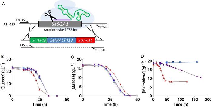 Рис. 6. Проверка функциональности генов-транспортеров у S. eubayanus