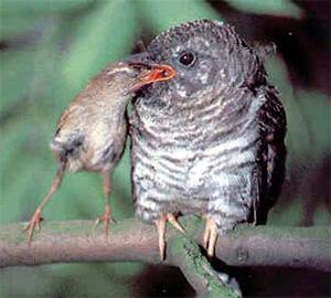 Алексей 1000:Если у птенца кукушки с птенцами птиц есть...
