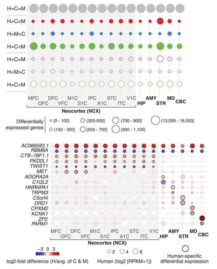 Рис. 2. Дифференциальная экспрессия генов в мозге человека, шимпанзе и макака резуса