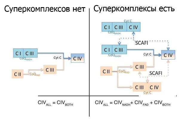 Рис.2. Наличие суперкомплексов сильно разветвляет возможные потоки электронов вэлектронтранспортной цепи.