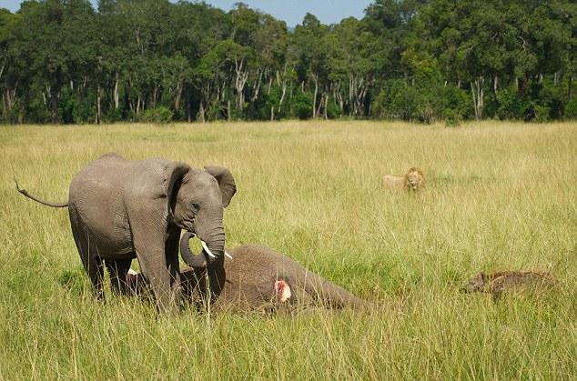 Слоны и шимпанзе эмоционально переживают смерть близких