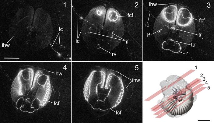 Домики гигантских глубоководных аппендикулярий— архитектурное чудо природы