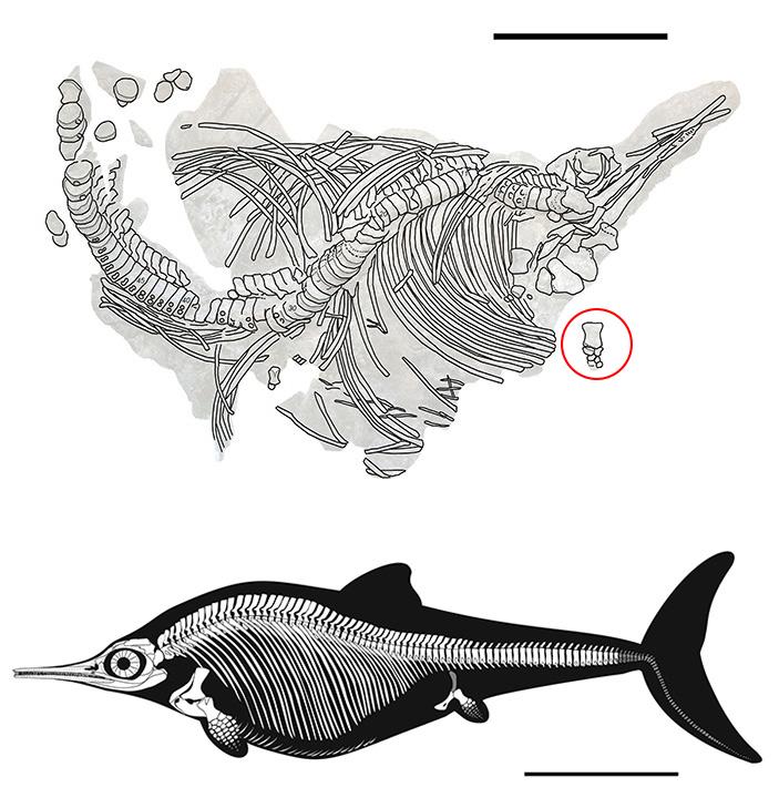 Удочка помогла исправить ошибку вистории ихтиозавров
