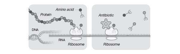 Упрощенная схема работы рибосом (слева) и ее блокирования антибиотиком (справа). На матрице ДНК (DNA) синтезируется информационная РНК (RNA), ккоторой впоследствии присоединяются две субъединицы рибосомы (ribosome) и начинается синтез белка (protein). Каждую аминокислоту (amino acid), входящую в состав белковой цепочки, к рибосоме доставляет транспортная РНК (схематически изображенная ввиде вилочки). Некоторые антибиотики способны связываться с рибосомами бактерий, останавливая синтез белка и приводя к гибели бактериальных клеток. Иллюстрация к опубликованной в New York Times статье, посвященной Нобелевской премии по химии 2009года (с сайта www.nytimes.com)