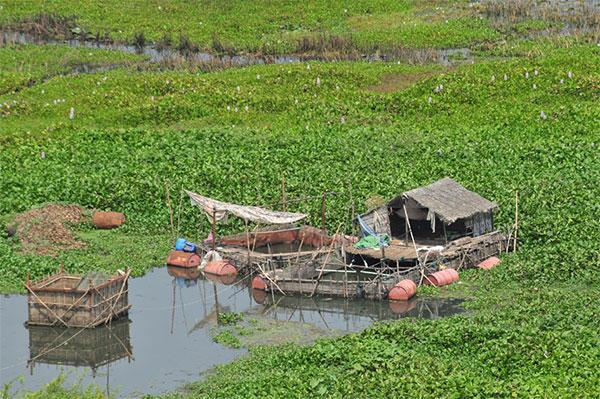 Плантации водного гиацинта в Камбодже; это растение местные жители едят, хотя оно и считается малопрестижной пищей. Постройки и садки служат базой для рыбной ловли. Фото автора заметки