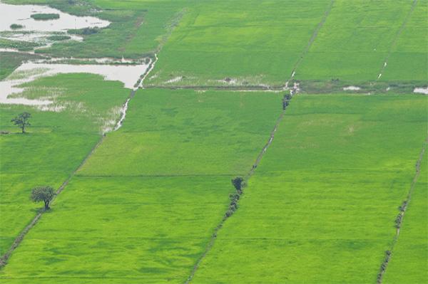 Рисовые чеки в Камбодже; растения находятся на разной стадии роста, соответственно различается и обводненность участков. Фото автора заметки