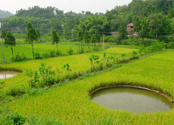 chinese rice farming essay