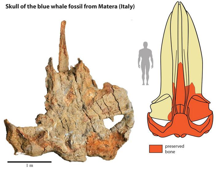 Рис. 3. Задняя часть черепа найденного в Италии синего кита
