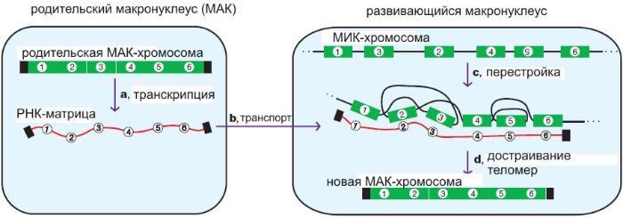 РНК-матрица, считанная сМАК-хромосомы перед разрушением макронуклеуса, служит «ключом» для распутывания генетической информации, содержащейся вМИК-хромосоме. Черным цветом обозначены концевые участки хромосом— теломеры. Рис. из обсуждаемой статьи вNature