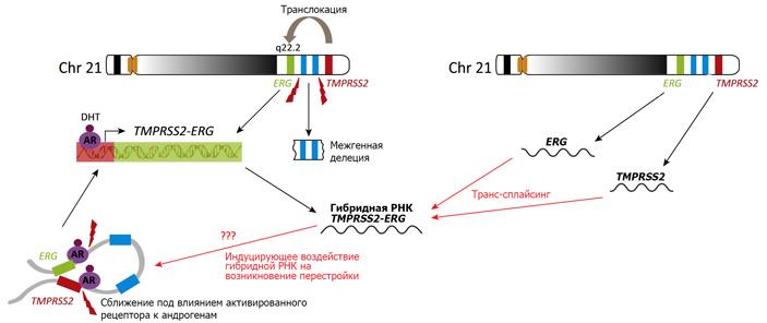 Гибридная РНК для образования онкогенного белка TMPRSS2-ERG в клетках предстательной железы может образовываться двумя путями