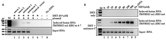 Рис. 2. Демонстрация инициации хромосомной перестройки под влиянием гибридных РНК в различных вариантах эксперимента