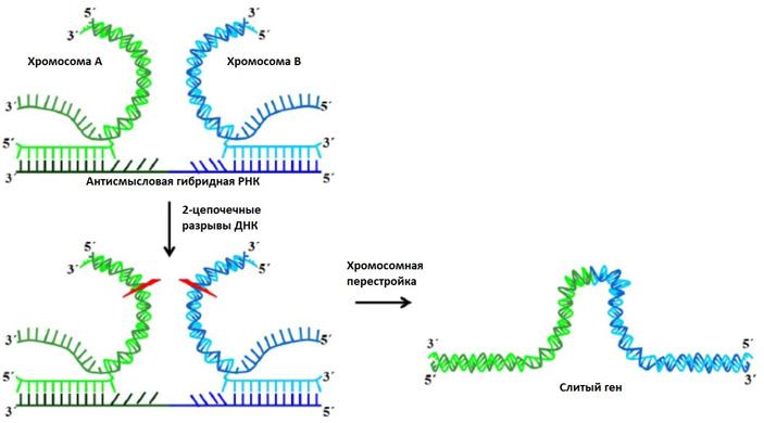 Рис. 5. Схематичное изображение предполагаемого механизма РНК-опосредованной хромосомной перестройки