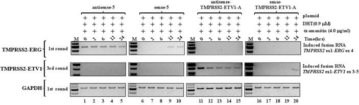 Рис. 6. Проверка индукции хромосомных перестроек