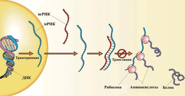 образуется молекула мРНК